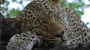 Why do leopards have spots?