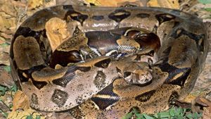 What is the life cycle of a boa constrictor?