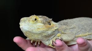 What Is the Life Span of a Bearded Dragon?