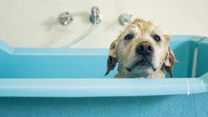 How Long After a Female Dog Gives Birth Is It Safe to Bathe Her?