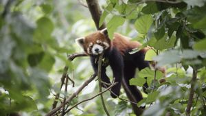 How Long Does a Baby Red Panda Stay With It's Mother?
