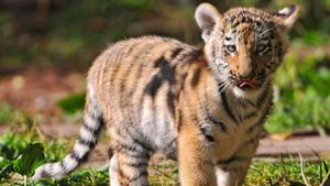 How long does it take for a baby tiger to form in the womb?