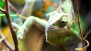 How Long Do Chameleons Live?