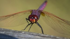 How Long Do Dragonflies Live?