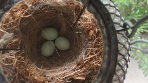 How long does it take for finch eggs to hatch?