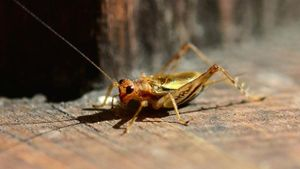 How long does a grasshopper live?