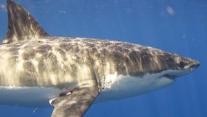 How Long Does a Great White Shark Live?