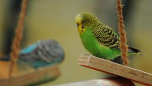 How Long Does It Take to Tame a Budgie?