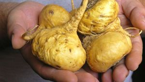 What Is Maca Root Used For?