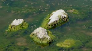 What Are the Main Characteristics of Algae?