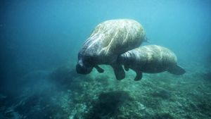 How do manatees nurse their young?