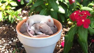 How Many Babies Do Rats Have?