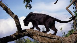 How Many Black Panthers Are Left in the World?