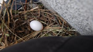 How Many Days Do Pigeon Eggs Take to Hatch?