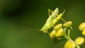 How many eyes does a grasshopper have?