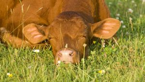 How Many Hours a Day Do Cows Sleep?