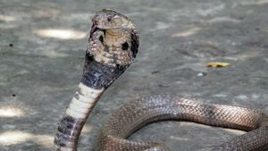 How Many Species of Cobras Are There?