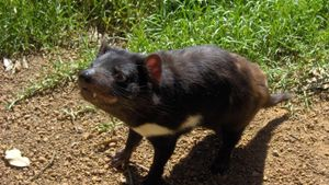 How Many Tasmanian Devils Are Left?