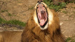 How many teeth do lions have?