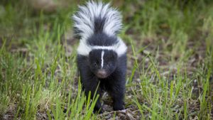 How Many Times Can a Skunk Spray?