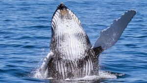 How Many Whales Are Left in the World?