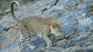 What is the maximum speed of a leopard?