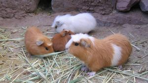 What Does It Mean When a Guinea Pig Squeaks?