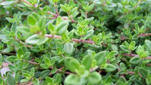 What is the best method for harvesting thyme?