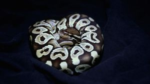 What Is a Mohave Ball Python?