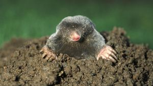 How Do Moles Damage Yards?