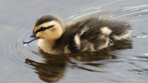 "What Is the Moral of ""The Ugly Duckling""?"