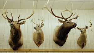 How Do You Mount Deer Antlers?