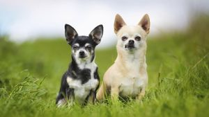How much do Chihuahua dogs cost?