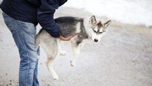 How much does a husky weigh?