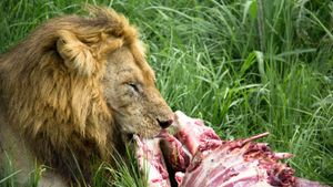How Much Do Lions Eat?