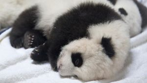 How Much Does a Newborn Panda Weigh?