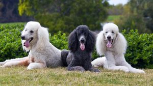 How Much Does a Standard Poodle Weigh?