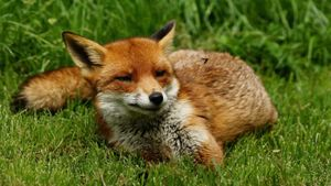 What is the name of a female fox?