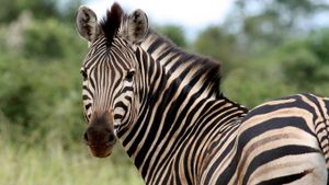 What is the name for a female zebra?