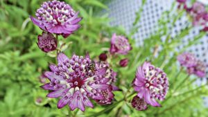 What Are the Names of Some Border Perennials?