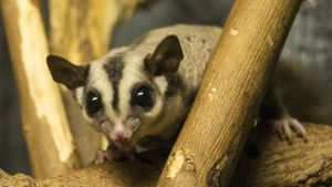 What Noises Do Sugar Gliders Make?
