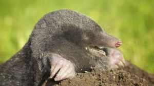 Are There Non-Lethal Methods for Removing Moles in Your Yard?