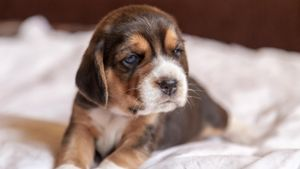 What Is a Normal Temperature for a Puppy?