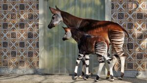 Why are Okapi endangered?