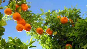 Where Do Oranges Come From?