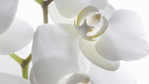 Where Do Orchids Originate From?