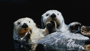 Why Do Otters Hold Hands?