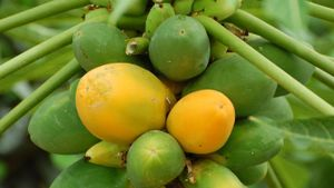 When are papayas in season?