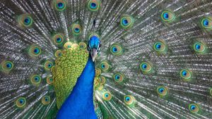 How Do Peacocks Mate?