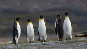 How Do Penguins Survive in Antarctica?